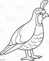 Coloring Quail Vector Bird Clip Illustrations Illustration Animal Activity Graphics Eggs Istockphoto sketch template