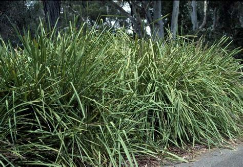 lomandra longifolia  pot   plants garden