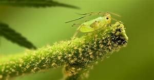 Cannabis And Aphids  Identification  Prevention And Control