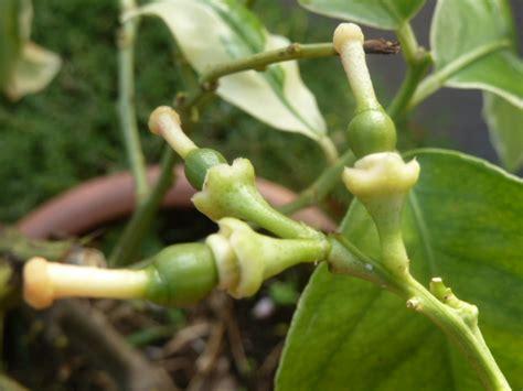 fertiliser les agrumes en pot au jardin forum de jardinage