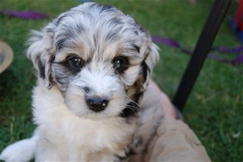 Do Miniature Aussiedoodle Shed by 1000 Ideas About Australian Shepherd Shedding On