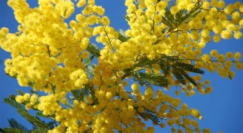 chambre du conseil mimosa semis entretien culture et arrosage