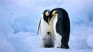 Baby penguin with parents - HD wallpaper download ...