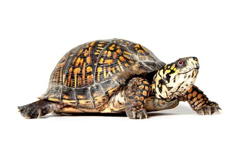 Heat Ls For Box Turtles by How To Take Care Of A Turtle Or Tortoise