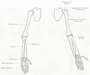 The Bones of the Arm and Hand | Aijalon Cabiness-Glen