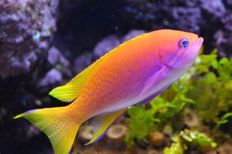 colorful aquarium fish freshwater aquarium fish some information on subject