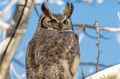 great horned owls  greatest hunters birds  blooms