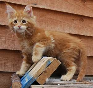 Red tabby Maine Coon male kitten for sale. | Chelmsford ...