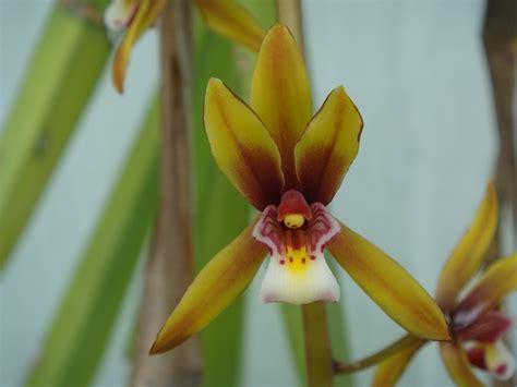Cymbidium finlaysonianum Wallich ex Lindley