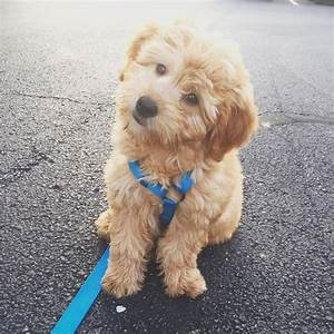 Mini goldendoodle pups nederland — get healthy pups from
