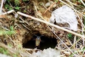 Wann Verlassen Wespen Ihr Nest : erdwespen entfernen so vertreiben sie die insekten ~ A.2002-acura-tl-radio.info Haus und Dekorationen