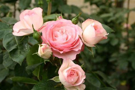 Kletterrose Mini Eden Rose Kletterrosen Kaufen