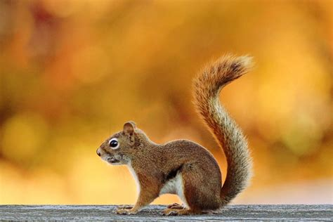 squirrel hd wallpaper background image  id