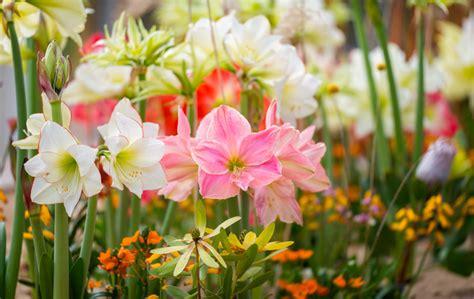 Garten-amaryllis » Pflanzen Und Pflegen
