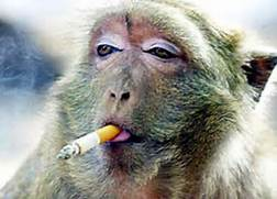 Monkey Smoking Cigarette  Funny Monkeys Smoking