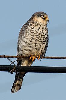 amur falcon wikipedia