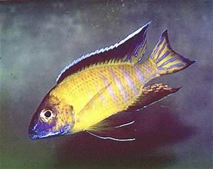 Flavescent Peacock – Aulonocara Stuartgranti Usisya