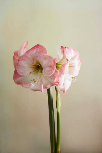 grow  care  amaryllis garden design