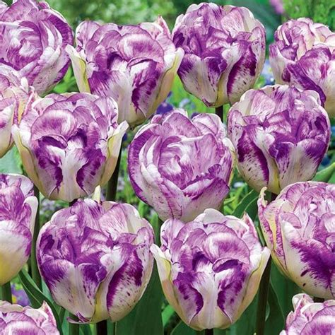 1000 ideas about tulip bulbs for sale on