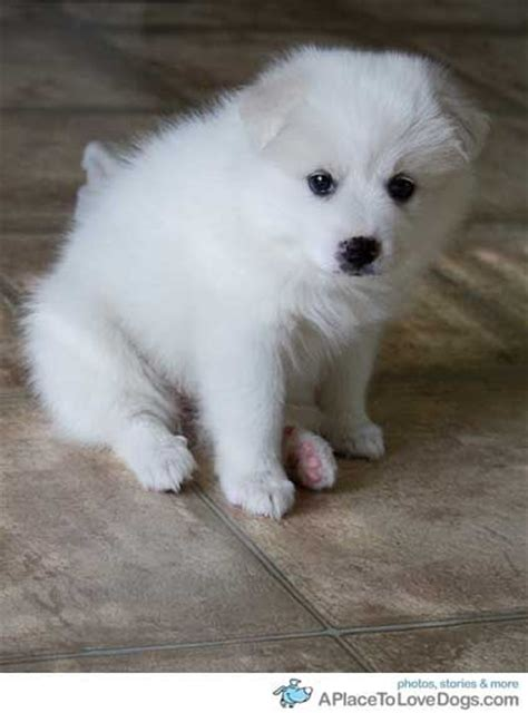 17 best ideas about american eskimo puppy on american eskimo fluffy puppies and