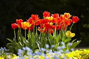 Tulpen Im Garten : tulpenzwiebeln stecken tulpen richtig pflanzen ~ A.2002-acura-tl-radio.info Haus und Dekorationen
