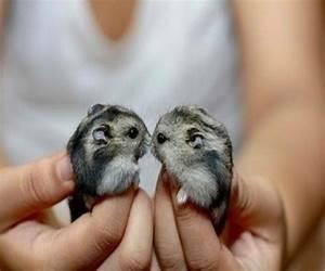 Dwarf Hamsters | Dwarf Hamsters | Pinterest | Animal