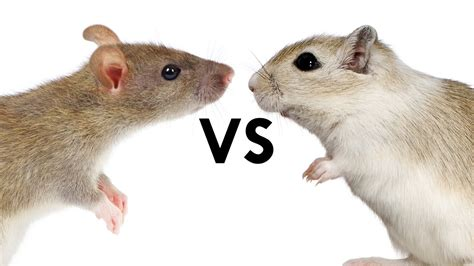 rat vs mouse rat vs mouse 28 images what s the difference between rats and mice what is the difference