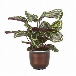 Shop Exotic Angel Plants 6-in Calathea (L20924hp) at Lowes com