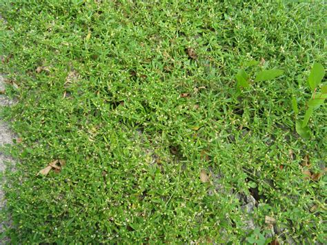 Sidewalk Weeds In The Hot Dry Summer Friesner Herbarium Blog About Indiana Plants