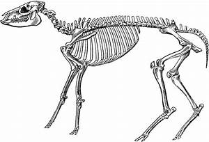 Skeleton Of A Mesohippus Bairdi