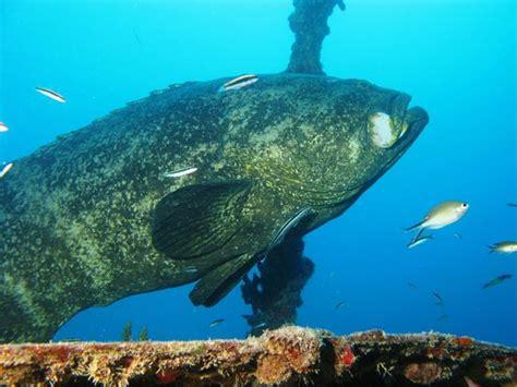 dive reef rainbow grouper spiegel grove center goliath largo key florida tripadvisor keys