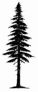 Tsuga heterophylla (western hemlock) | Tattoo Ideas ...