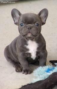 Blue French Bulldog puppy | Frenchies