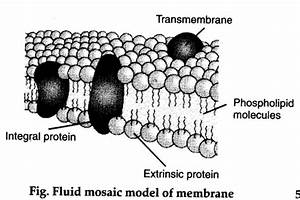Who Proposed The Fluid Mosaic Model Of Plasma Membrane  - Cbse Class 11 Biology