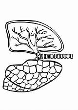 Coloring Lungs Sheets Outline Human Dibujo Dibujos Pulmones Inside Colorear Edupics Digestivo sketch template