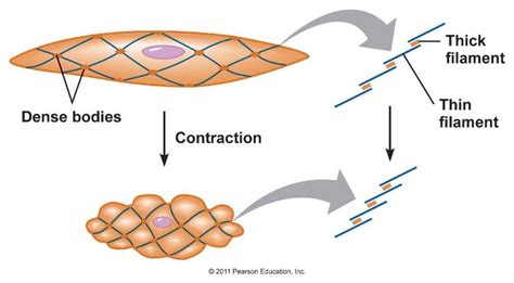 Vascular smooth muscle refers to the particular type of smooth muscle found within, and composing the majority of the wall of blood vessels. Smooth Muscle - The School of Biomedical Sciences Wiki