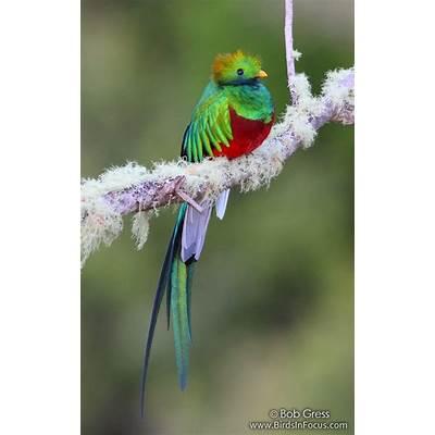 Birds in Focus - Resplendent Quetzal
