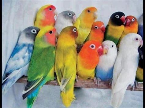 pretty lovebirds lovebird singing youtube