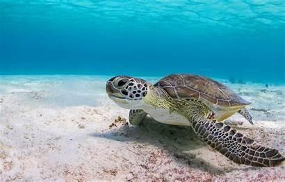 Turtle Sea Underwater 4k Background Ocean Water