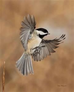 Carolina Chickadee flying and landing by Edward Mistarka ...