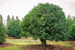 Petit Arbre Persistant : des petits arbres pour petits jardins jardin du sens ~ Melissatoandfro.com Idées de Décoration