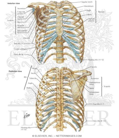 bony framework  thorax