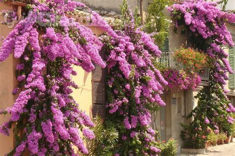 Alberi Da Interno Sempreverdi - piante ricanti e sempreverdi come avere un balcone