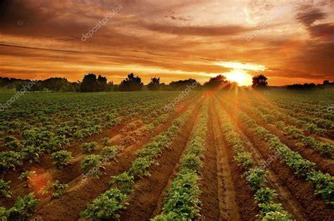sunset   potato field stock photo  kazakovv