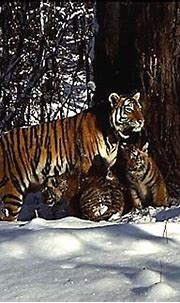 Video: Rehabilitated Siberian tiger gives birth to cubs in ...