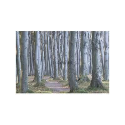 Beech forest (Fagus sylvatica) Nienhagen Mecklenburg