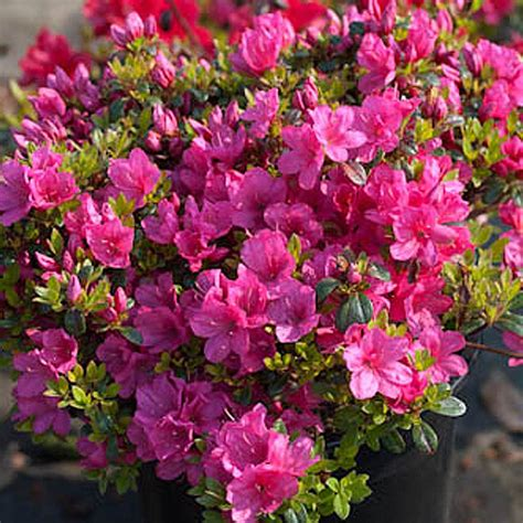 naturagart shop niedrige azalee rosa  kaufen