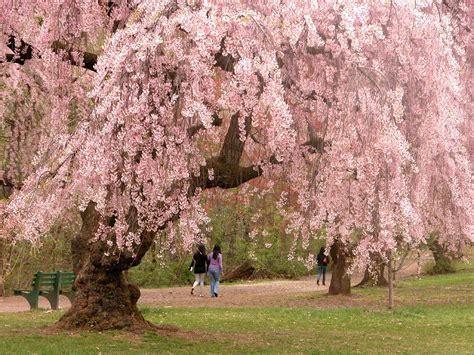 cherry blossom tree l flowering trees in virginia a guide for spring