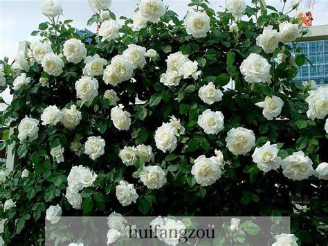 Hot Sale 100 Seeds Climbing Rose Seeds Plants Spend