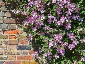 Plantes Grimpantes Mur : choisir une plante grimpante ~ Melissatoandfro.com Idées de Décoration